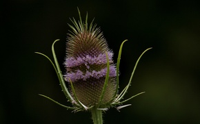 Картинка flower, purple, thistle, purple lines