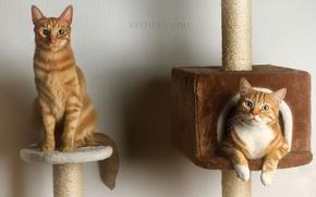 Картинка коты, пара, рыжие