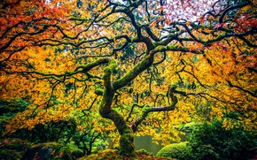 Обои осень, парк, дерево, Орегон, Портленд, клён, Oregon, Portland, японский клён