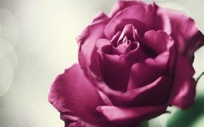 Картинка цветок, фон, розовая, роза, лепестки