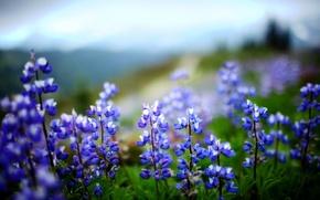 Обои зелень, фиолетовый, листья, цветы, природа, зеленый, растение, люпин