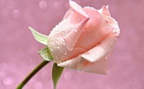 Картинка цветок, вода, капли, свет, роса, роза, лепестки, бутон, блик