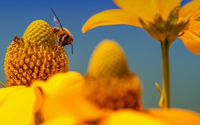 Картинка цветы, природа, пчела, растение, насекомое