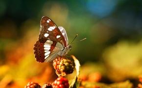 Картинка макро, ягоды, бабочка, насекомое