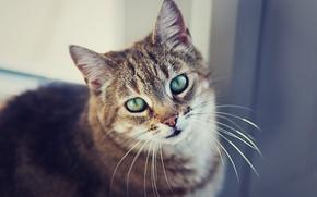 Картинка кошка, усы, взгляд, глаза, шерсть, смотрит, кот