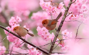 Картинка цветы, птицы, ветки, дерево, весна, сад, пара