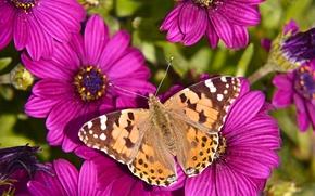 Обои бабочка, Остеоспермум, цветы, макро, Репейница