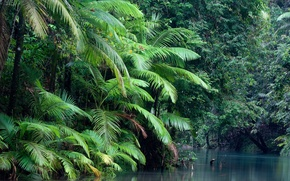 Картинка forest, water, plant, Daintree national park