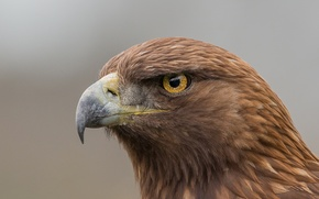 Картинка eagle, eye, golden eagle