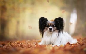 Обои листья, осень, Папийон, Континентальный той-спаниель, боке, собака