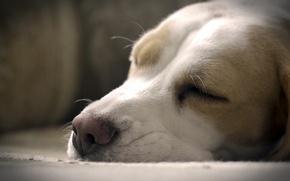 Обои собака, красота, сон