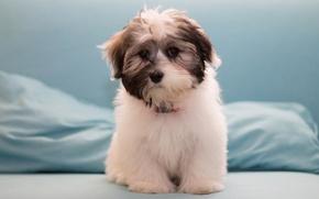 Картинка собака, щенок, Гаванский бишон