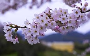 Картинка ветки, вишня, весна, сакура, цветение