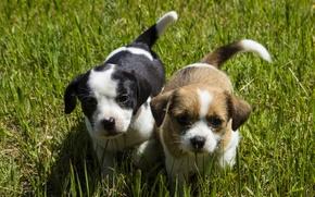 Обои собаки, трава, взгляд, щенки, малыши, мордашки