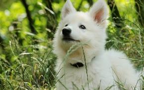 Картинка трава, щенок, овчарка