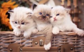 Обои Рэгдолл, трио, котята, малыши, троица
