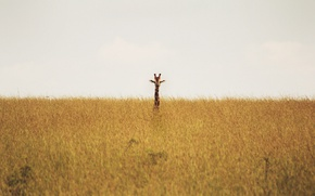 Картинка giraffe, savannah, wildlife, neck