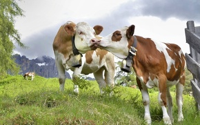 Обои пара, романтика, небо, луг, коровы