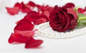 Обои лепестки, жемчуг, роза