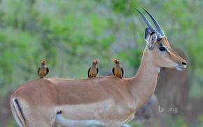 Картинка птицы, цвет, клюв, рога, Африка, ЮАР, импала, чернопятая антилопа, Kruger National Park