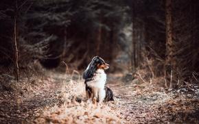 Картинка forest, road, dog, australian shepherd, canine