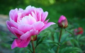 Картинка цветок, макро, зеленый, розовый, растения, лепестки, пион