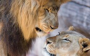 Картинка любовь, лев, львы, парочка, львица
