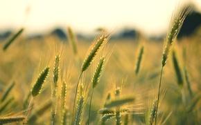 Картинка пшеница, поле, макро, фон, widescreen, обои, рожь, колоски, wallpaper, колосья, широкоформатные, background, полноэкранные, HD wallpapers, …