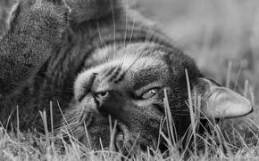 Обои взгляд, кот, мордочка, монохром, чёрно-белая