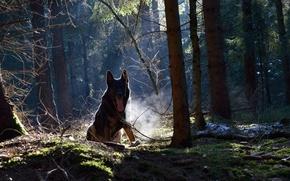 Обои собака, природа, лес, друг