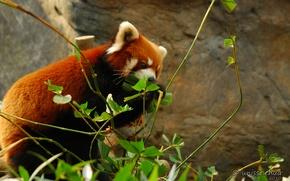 Картинка природа, красная панда, by shobehikaru