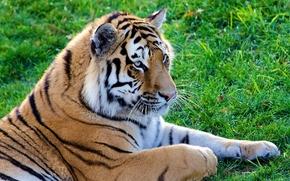 Обои усы, лежит, полоски, на траве, Тигр, морда