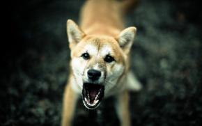 Картинка фон, злость, собака