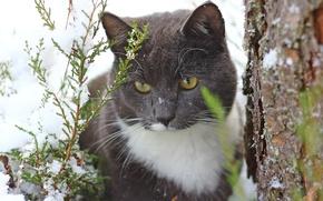 Обои кошка, кот, снег, дерево, ствол, туя