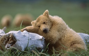 Обои Мишка, Аляска, Спит