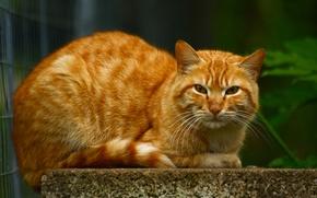 Картинка кот, большой, рыжий, лежит