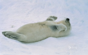 Картинка снег, тюлень, детеныш, арктика