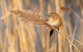 Картинка трава, птица, ветка, метелка, усатая синица