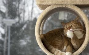 Картинка кот, рыжий, умывается