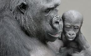 Обои детёныш, мать, обезьяны
