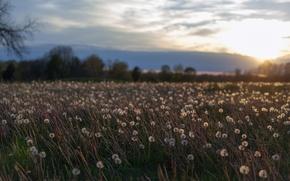Картинка поле, лето, небо, солнце, облака, деревья, закат, цветы, тучи, поляна, вечер, Одуванчики