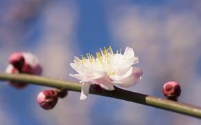 Обои цветок, ветка, весна, лепестки, сад