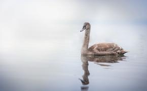 Обои озеро, лебедь, птица