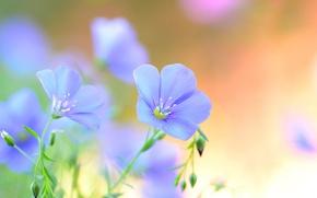 Картинка лето, цветы, лепестки, голубые, полевые, Лен