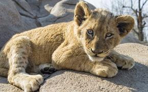 Картинка кошка, взгляд, камень, детёныш, львёнок, ©Tambako The Jaguar