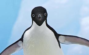 Обои пингвин, снег, крылья