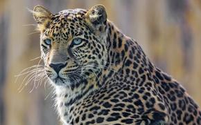 Картинка взгляд, морда, хищник, леопард, пятнистая кошка