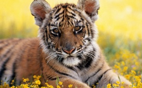 Обои парк, трава, Тигр