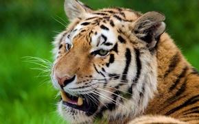 Обои усы, тигр, полоски, отдых, морда, смотрит