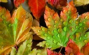 Обои осень, капли, лист, роса, цвет, клен